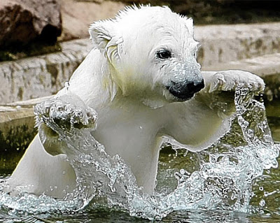Baby Animal - Polar Bear Pics