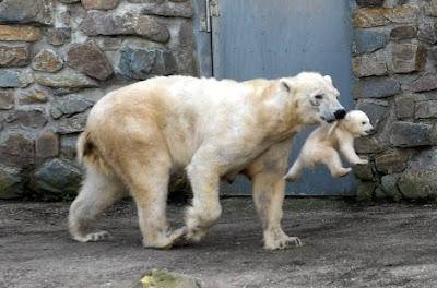 Cute Polar Bear Cub Pics