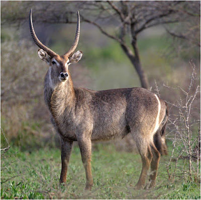 Waterbuck Picture