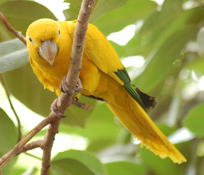 Golden Conure Beautiful bird photo