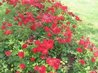 Розы весной