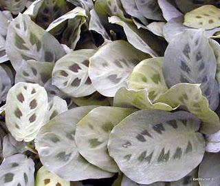 Maranta orbiculata
