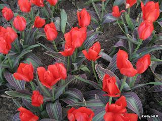красные тюльпаны, цветы