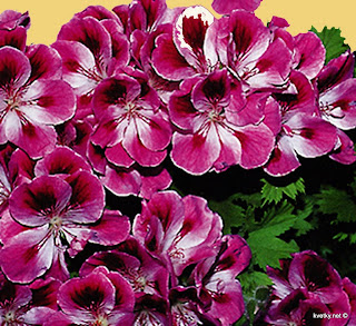 Пеларгония крупноцветковая Кимано