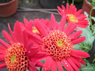 хризантема анемоновидная Оваро