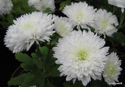 Хризантема полушаровидная
