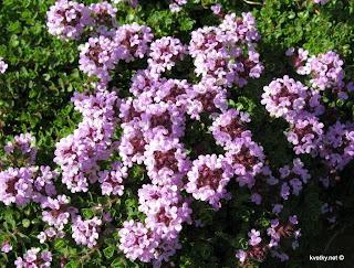 Садовые растения близнеца горошек