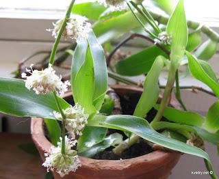 Каллисия душистая цветы