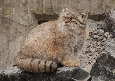 8 Jenis Kucing Hutan Yang Mempesona