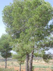 Las plantas for Arboles para veredas hojas perennes