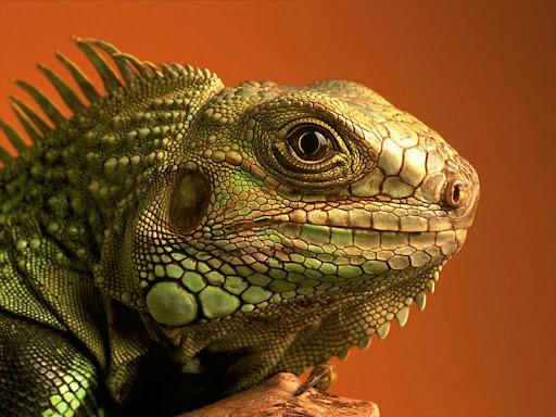 Lizard Wallpaper 09