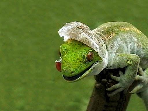 iguana dragon lizard wallpaper