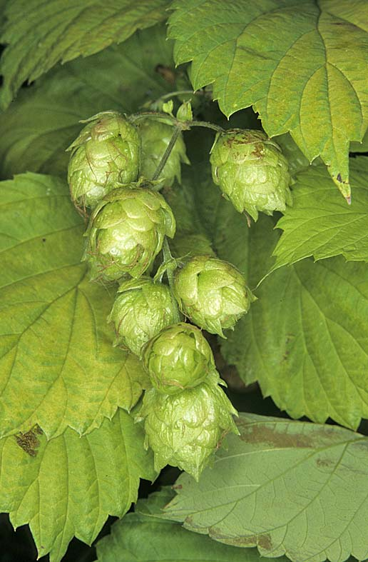 how to grow hops from seed