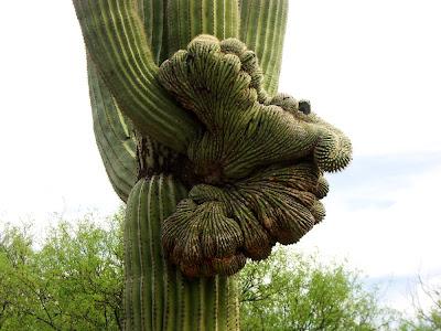 Fan Like Cactus Becomes a Fan-like Form