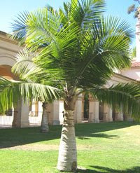 majesty Majesty Palm Tree   Ravenea rivularis