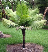 dwarf majesty palm Dwarf Majesty Palm Tree