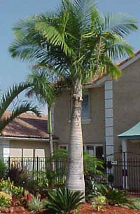 majesty palm2 Majesty Palm Tree   Ravenea rivularis