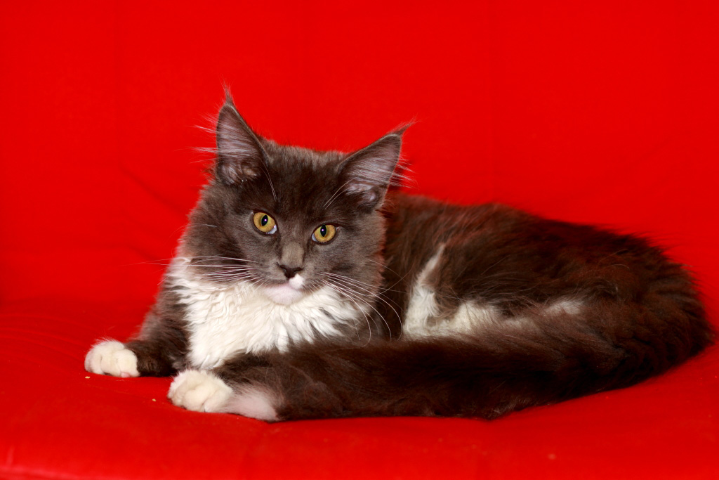 angebot royal canin maine coon