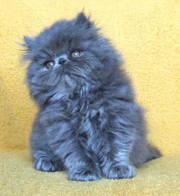 Most of the Blue Longhair kittens are
