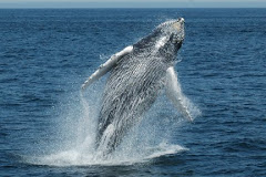 Spinning breach by a humpback whale