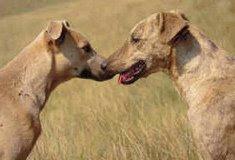 Africanis Dog Photo
