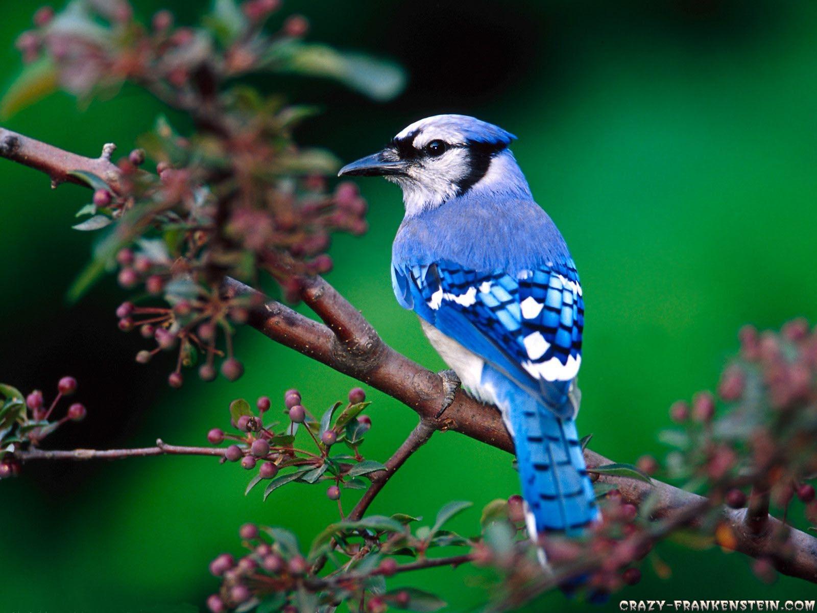 Valentine Day 2014 National Geographic Wallpaper Birds