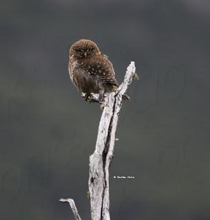 Aves del Cantbrico Oriental En bsqueda del Pato torrentero