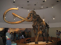Columbian mammoth from tar pits