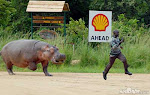 Hippo tipping gone awry