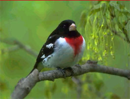 Rose-Breasted Grosbeak, Dominica