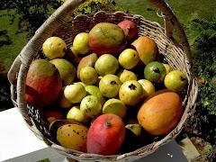 Mangoes & Guava