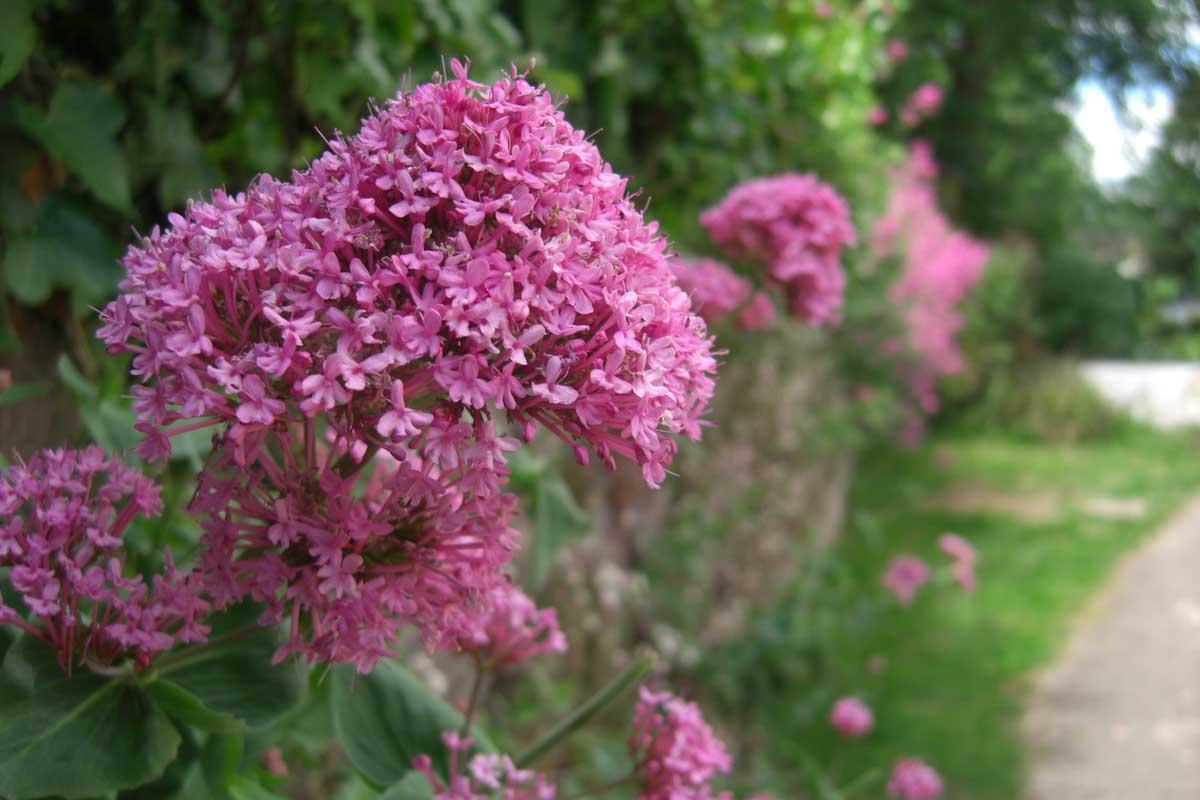 Sweet Pea Flower Beautiful Flowers
