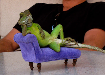 two iguana on a tiny Couch