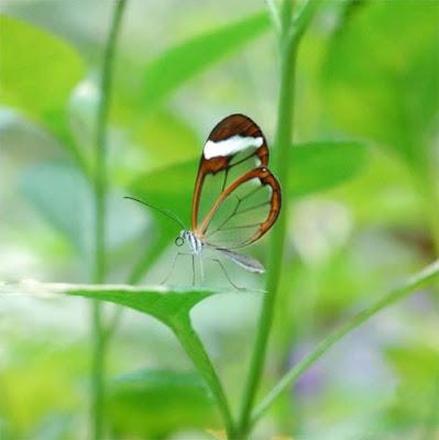 Glasswing+butterfly+6.jpg
