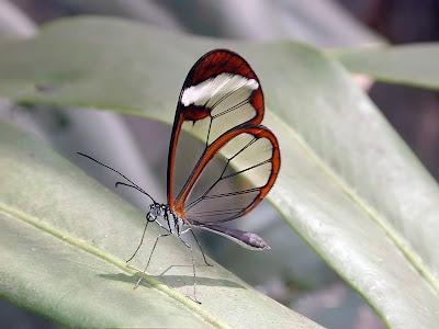 Glasswing+butterfly+12.jpg