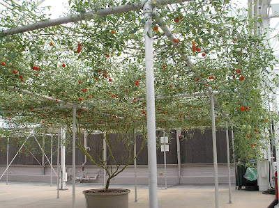 Amazingly Large tomato tree