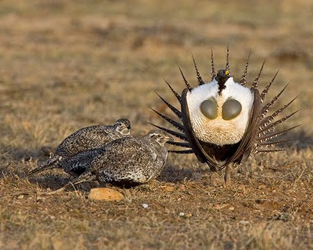 Baby sage grouse - photo#22