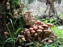 giant_fungus_armillaria_ostoyae3