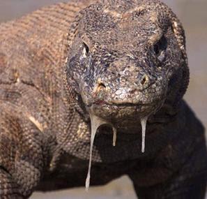 Reptilia mania - Komodo dragon (Varanus komodoensis)