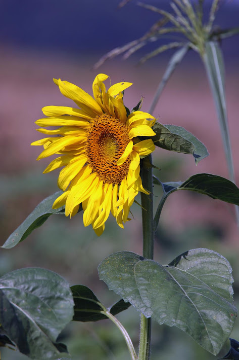 Mississippi Delta Sunflower