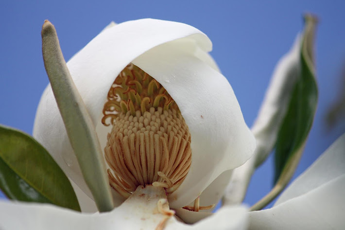 The Heart of a Magnolia