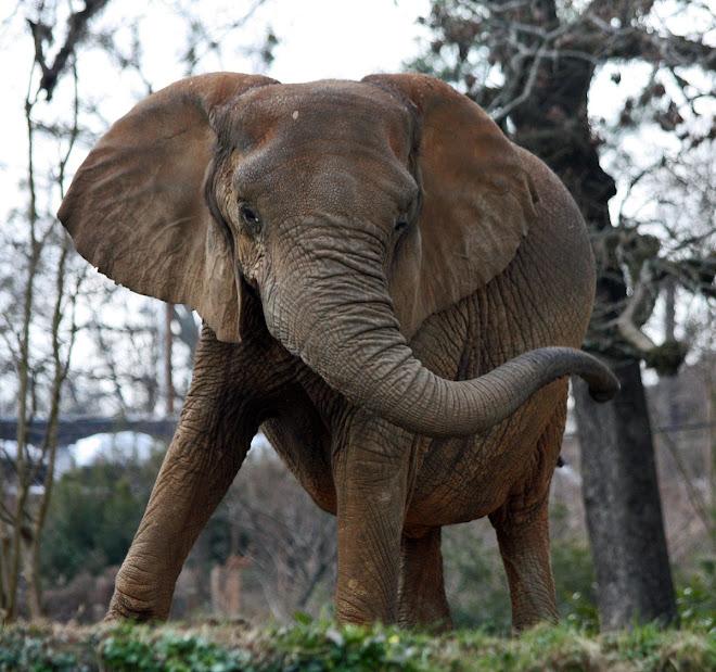 Elephant, Jackson, Mississippi Zoo