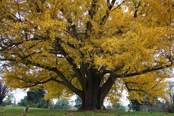 Ginkgo Tree and Headstones in Vicksburg National Cemetery