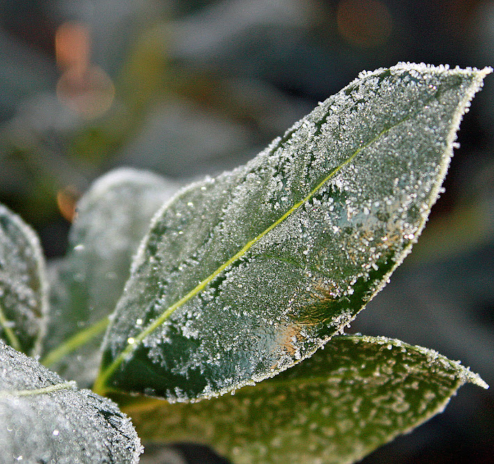 Frosted Holly Leaf