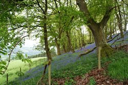 Bluebell wood Wales
