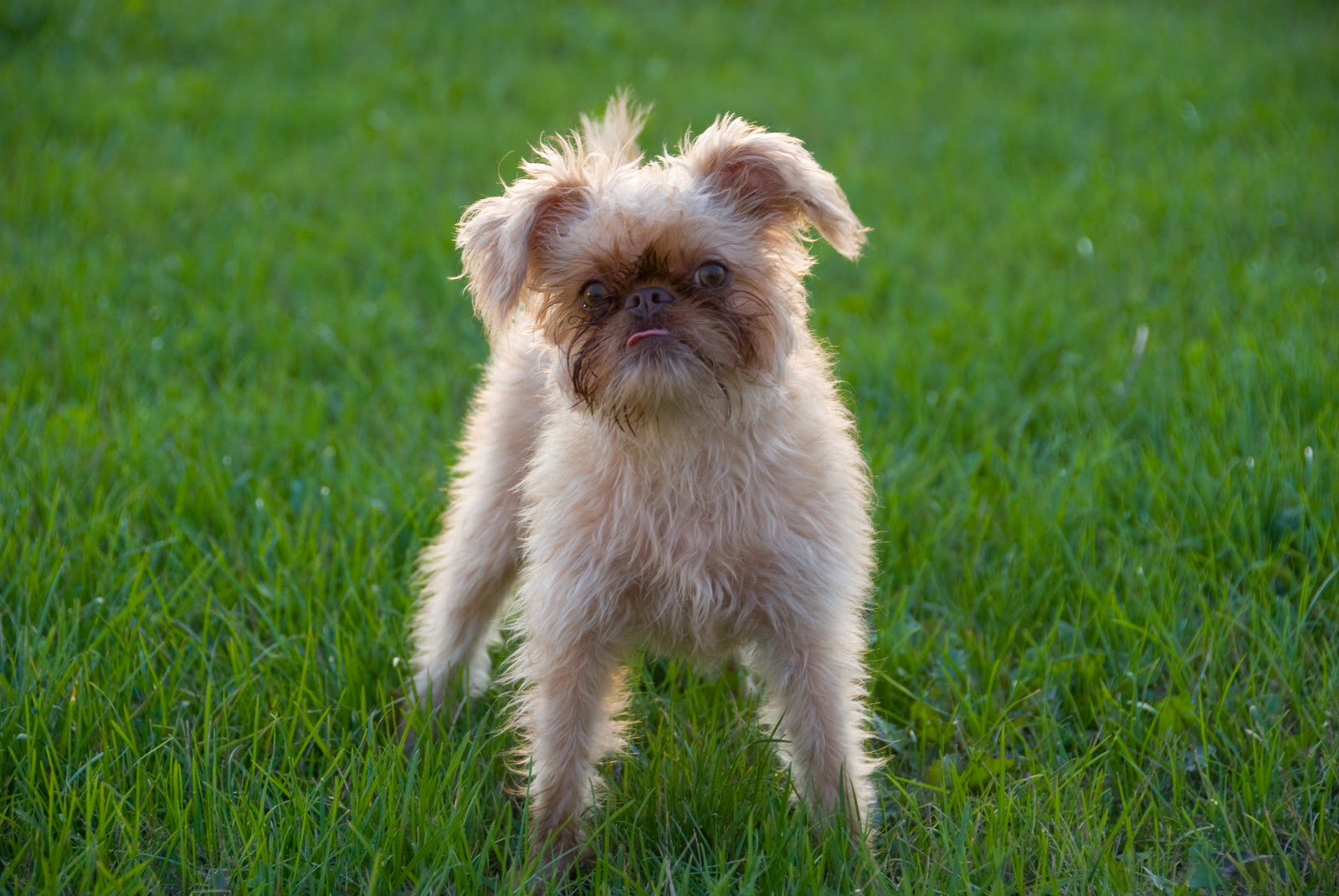 Brussels Griffon breed dog playing outdoor