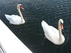 Swans beside Ithaka