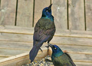 Grackle Guys