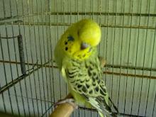 Femea Opalina Verde Cinza