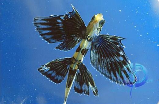 السمكة الطائرة-الطبيعة والحيوان-منتهى